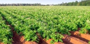 Насаждения-от-картофи